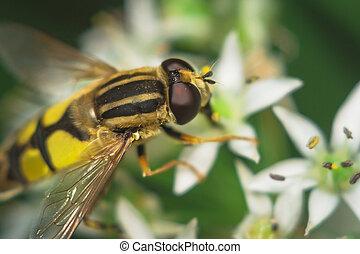 fly Diptera Syrphidae closeup macro photo garden assistant