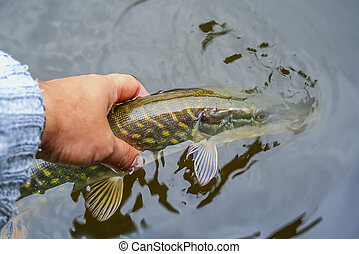 Fly fisherman holding a fish prior to release