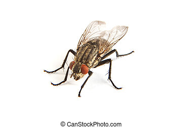 Macro shot of a housefly, Fly isolated on a white background