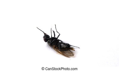 Fly lies on a white surface isolated and dies. Dying insect.