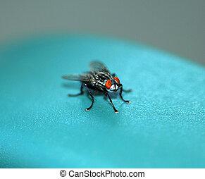 fly., mosca domestica