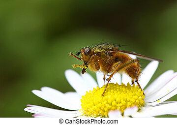 Fly on a daisy