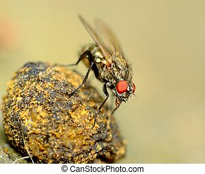 Fly On A Dung Ball