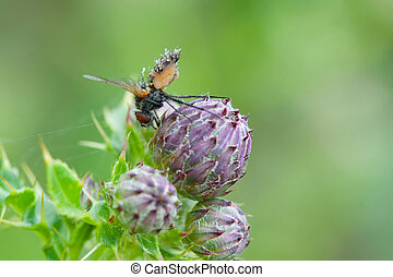 fly on a thistle