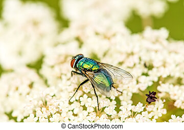 fly on a wild carrot flower