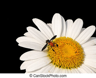 Fly On Daisy Macro