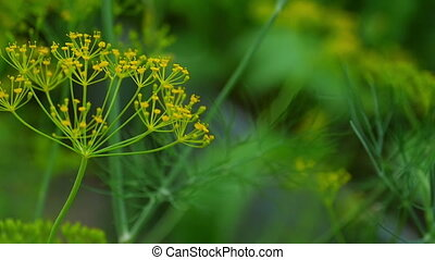 Fly on dill inflorescence - The fly feeds on nectar on...