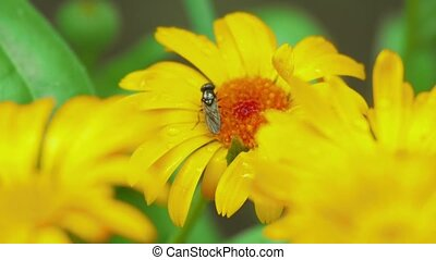 Fly on flower Calendula - Fly closeup on flower marigold...