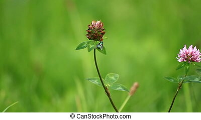 Fly on leaf clover