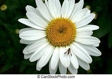 Fly on my daisy