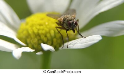Fly on the flower.Close up. - Fly on a daisy flower, Close...