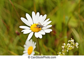 Fly on white camomile with blurry background