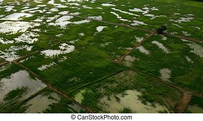 Fly over green paddy with with reflection sun light in water
