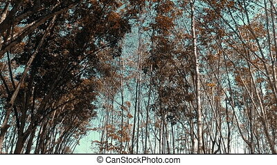 Fly through rubber trees forest - Low angle view of rubber...