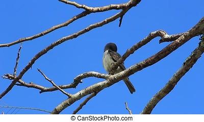 flycatcher , πουλί