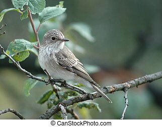 Young spotted flycatcher (latin name muscicapa striata).