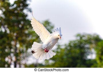 flygning, duva, bland, mot, luft, grön fond, fläck, vita ...
