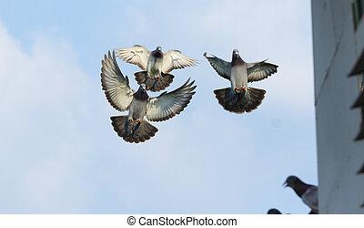 flygning, duva, mellersta luft, homing, flock, fågel