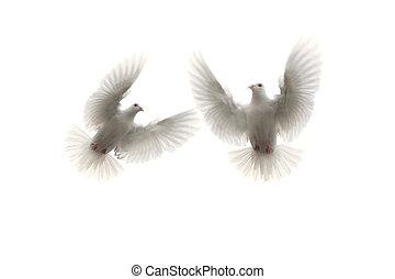 flygning, duva, två, mot, bland, bakgrund, vit, luft, fjäder