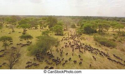 Flying Above Big Herd of Wildebeest in Migration in Savannah, Africa. Aerial