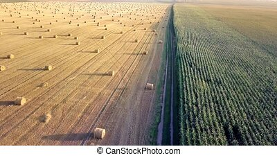 Flying above golden field of bales of mowed hay. Amazing straight flat harvesting and agricultural field of golded straw and yellow wheat prepared for farming stack. Flight over the harvested field.