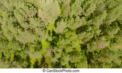 Flying above pine woods in summer - Camera flying directly...