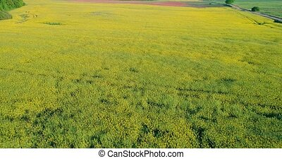 flying above rapeseed field - flying above yellow rapeseed...