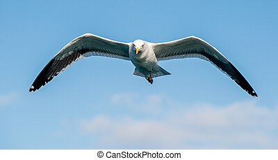 Kelp gull (Larus dominicanus) - Flying Adult Kelp gull...