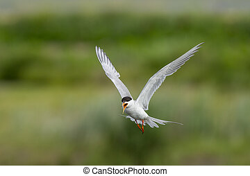 Flying and Calling Tern