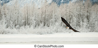 Flying Bald eagle. A flying Bald eagle against snow-covered mountains. The Chilkat Valley under a covering of snow, with mountains behind. Chilkat River .Alaska USA. Haliaeetus leucocephalus