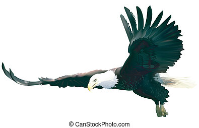 Flying Bald Eagle - colored illustration, vector