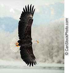 Flying Bald Eagle. Snow covered mountains. Alaska Chilkat...
