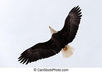 Flying bald eagle - flying bald eagle ( Haliaeetus...