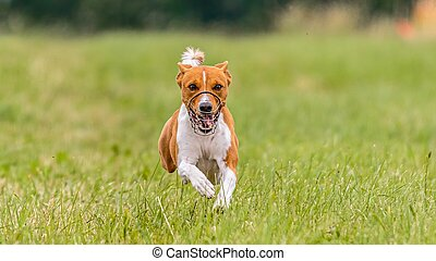 Flying basenji in the field on lure coursing competition