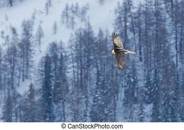 flying bearded vulture (gypaetus barbatus) with winter ...