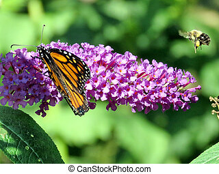Flying bee and Monarch Butterfly on a buddleja flower