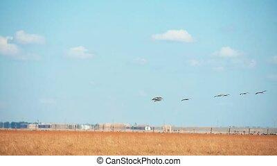 Flying big birds over the boundless steppe in askania-Nova...