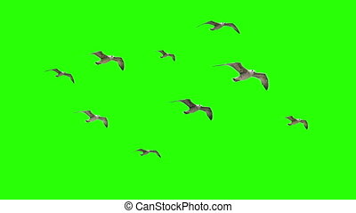 Flying Birds Seaguls on Chroma key