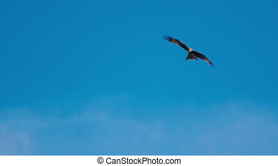Flying black kite in sky - Black kite -Milvus migrans-...