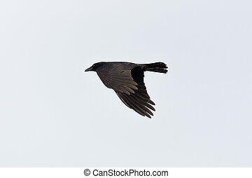 flying black raven (corvus corone) with spread wings - ...