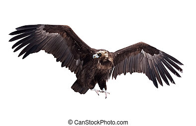 Flying black vulture. Isolated over white