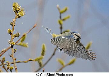 Flying Blue Tit in spring
