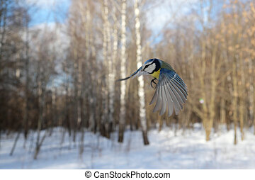 Flying Blue Tit in winter forest
