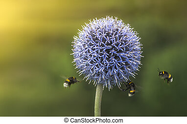 Flying Bumble Bees on Echinops