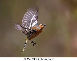 Chaffinch (Fringilla coelebs) in flight in an autumn colored garden