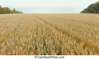 Flying close above vast yellow wheat field. AERIAL: Flight over cornfield. Drone view. Harvest, agriculture concept