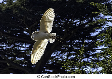 Flying common barn owl  (Tyto alba)