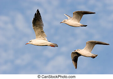 Flying Common Gull (Larus canus)