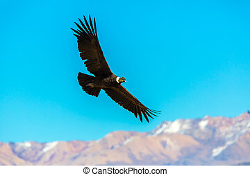 Flying condor over Colca canyon, Peru, South America. This is a condor the biggest flying bird on earth