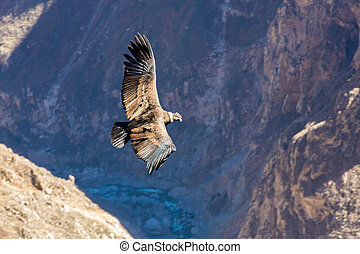 Flying condor over Colca canyon, Peru, South America This is...